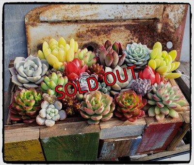 画像1: 【Bお花】紅葉多肉とセダムの抜き苗プルプルセット♪20P/19-12