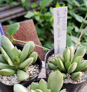 画像3: Adromischus umbracticola v.ramosus