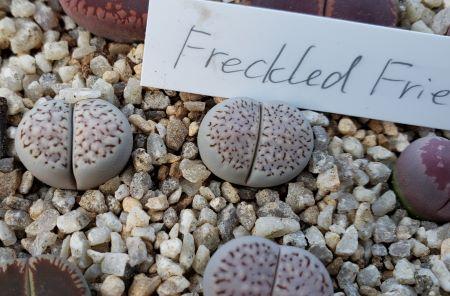 画像1: Freckled Friend Ts 【2019-11】