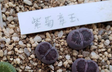 画像2: 紫菊章玉【19-12/23】