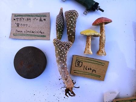 画像3: 茸ウチワ〜Puna clavarioides 5/27