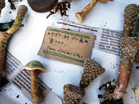 画像2: 茸ウチワ〜Puna clavarioides 5/27