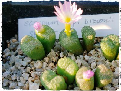 画像1: ectypum ssp brownii  SB785【20-10】