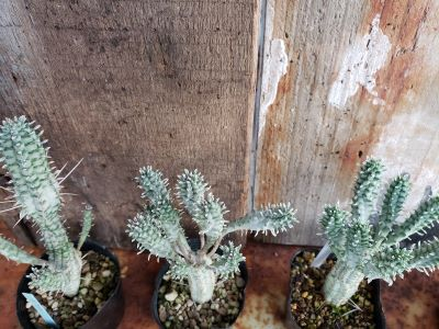 画像2: 白樺キリン/Euphorbia-A 11/5