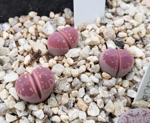 画像3: Red olive/紅オリーブ玉【20-10】