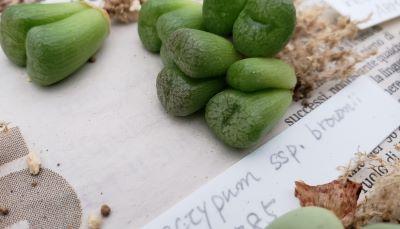 画像3: ectypum ssp brownii  SB785【20-10】