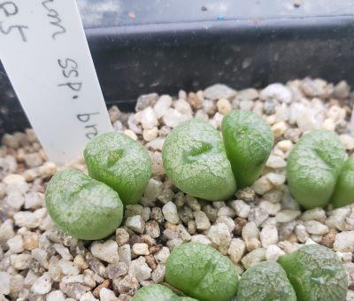 画像2: ectypum ssp brownii  SB785【20-10】