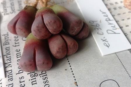 画像2: Purper C369A  紫福寿玉