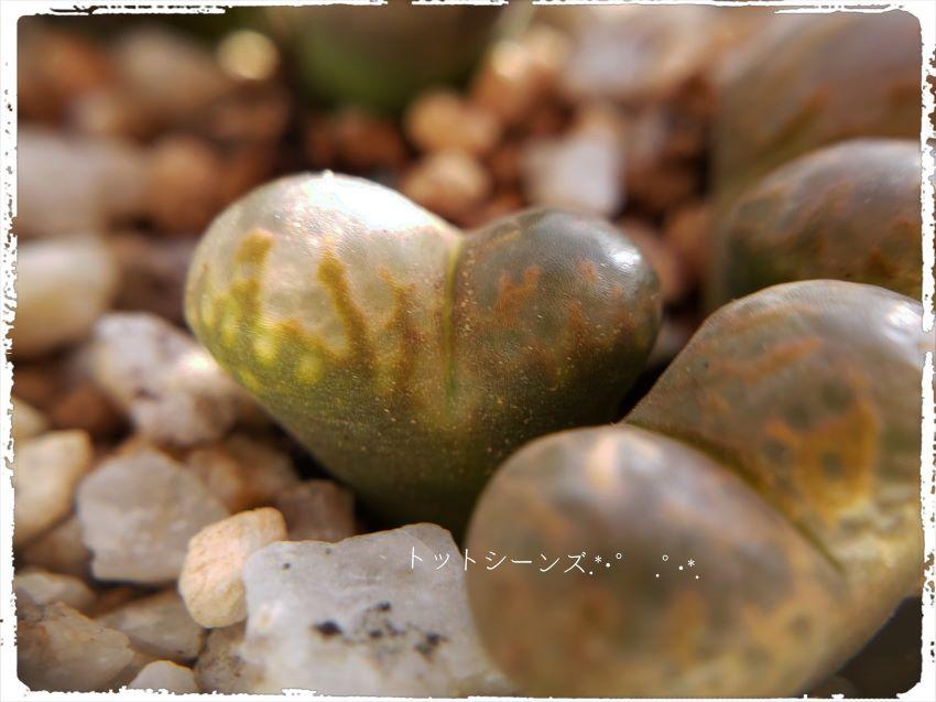 画像3: Pardicolor SE springbok【21/10A】