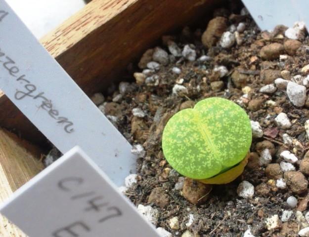 画像1: C1A  Venter green 緑弁天玉